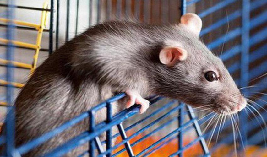 Chuột - ông trùm phá hoại cần phải diệt tận gốc