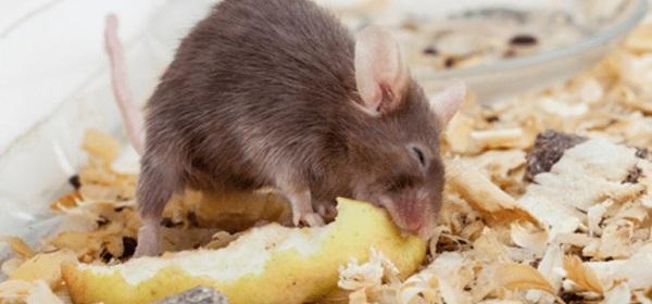Loài chuột thích ăn gì nhất? Cách làm mồi bẫy chuột