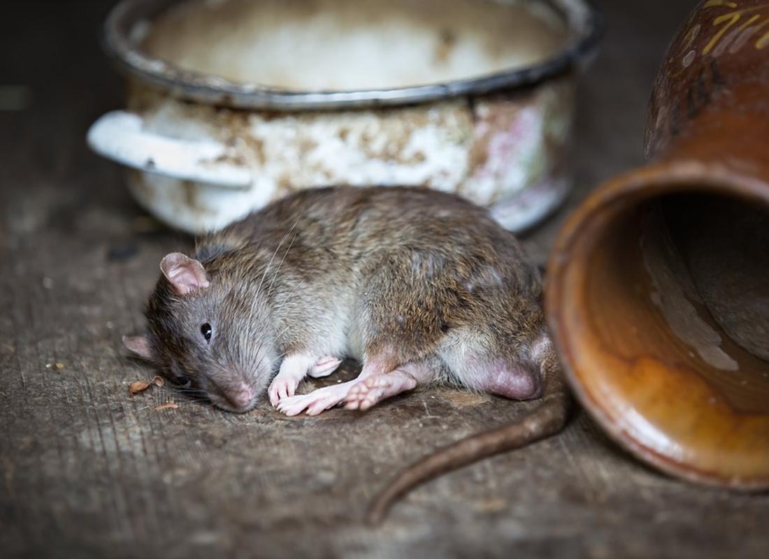 Dịch vụ diệt chuột công ty A2Z
