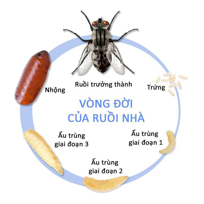 Ruồi sống được bao lâu thì chết? Vòng đời của ruồi nhà